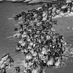 the great migration-William Chua-finalist-wildlife-5772