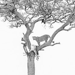 leopard with its trophy-William Chua-silver-wildlife-5830