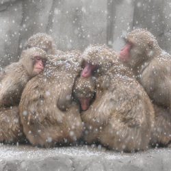 Snow Macaques-Chin Leong Teo-finalist-wildlife-5766