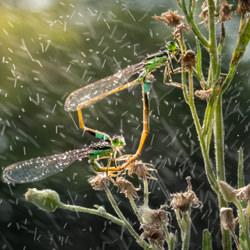 Mating Damselfly-Chin Leong Teo-finalist-wildlife-5768