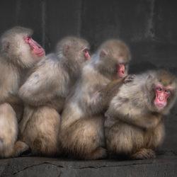 Huddle Macaques-Chin Leong Teo-finalist-wildlife-5769