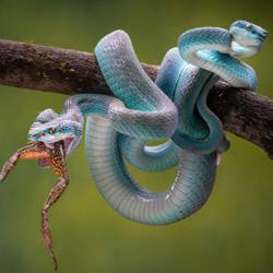 Blue Insularis 14-Chin Leong Teo-gold-wildlife-5810