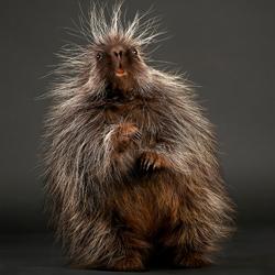 Stickers the Baby Porcupine-Peter Samuels-finalist-wildlife-5722