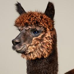 Rah the Alpaca-Peter Samuels-finalist-wildlife-5723