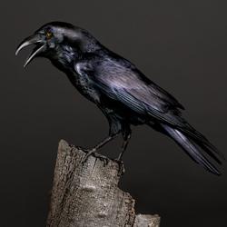 Poe the Half Blind Raven-Peter Samuels-finalist-wildlife-5724