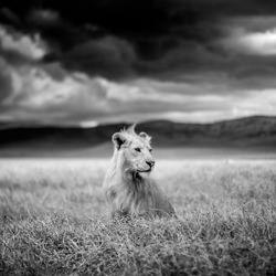 Young Lion, Ngorongoro, Tanzania-Paolo Ameli-bronze-wildlife-5689