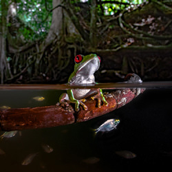 REDEYE_WATER-Pepe Manzanilla-bronze-wildlife-5680