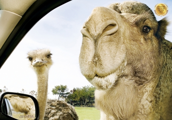 Photograph Ron Berg Camel And Ostrich on One Eyeland